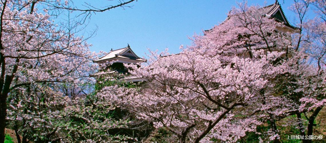上田城址公園の桜